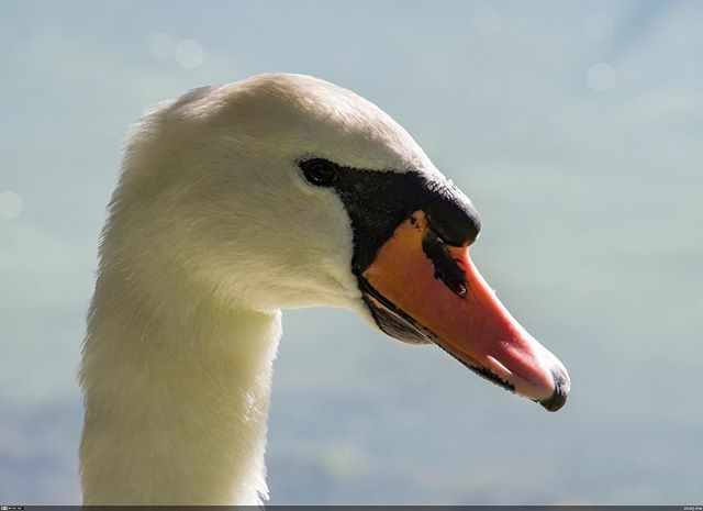 The majestic mute swan.