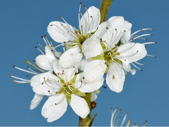 blackthorn-flower.jpg