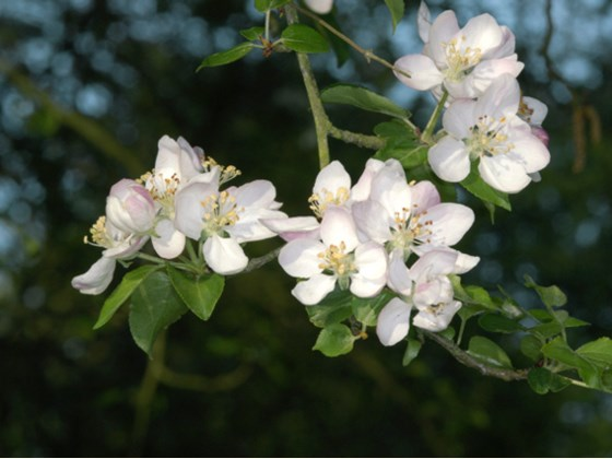 crab-apple-blossom.jpg
