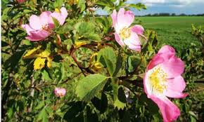 dog-rose-hedge.jpg
