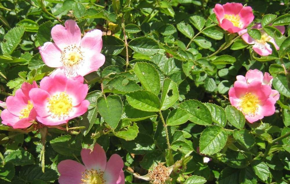 dog-rose-hedge 3.jpg