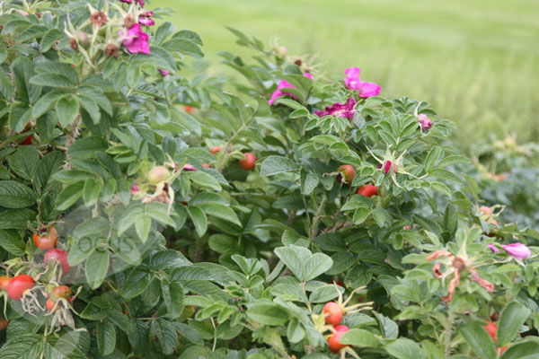 rosa-rugosa-hedge.jpg