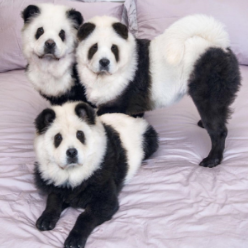 New found fame for The Panda Chow Chows: TuDou, YüMi & DouDou.