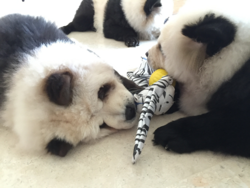 TuDou and yümi playing together with toby the zebra.
