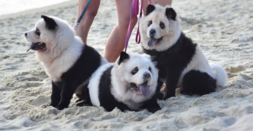 happiest hanging out at the beach. From left to right: Yümi, tudou, doudou.