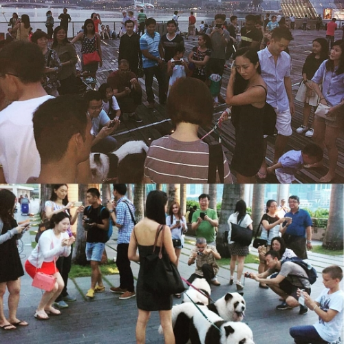 Marina Bay Sands Meet-and-Greet. The Panda Chow Chows are Surrounded by fans on the Promenade.