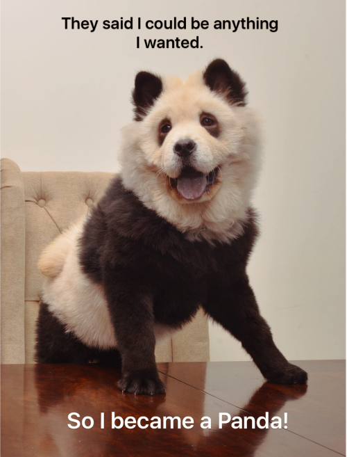 """""""Your destiny is your choice"""" ~ Panda Chow Chows."""