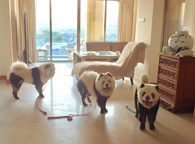 Come on human, time for our walkie! #dailyexcercise #playtime #pandachowchows