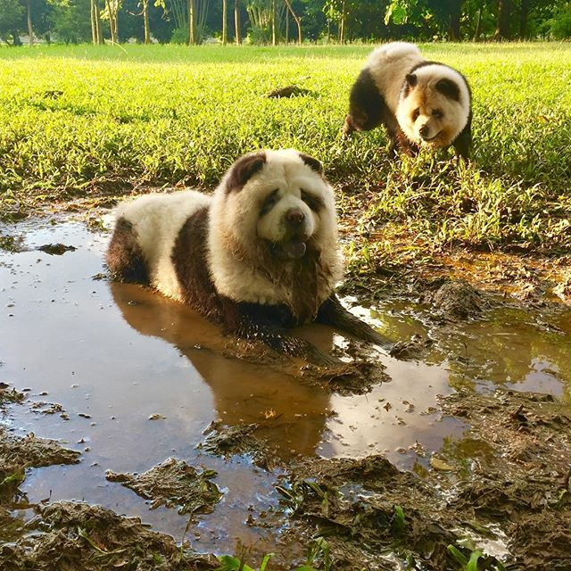 You pay for your mud baths at the spa? We get ours for free 😂 #spatherapy #naturalspa #mudbath #yumi #doudou #pamperday #pandachowchows #singapore