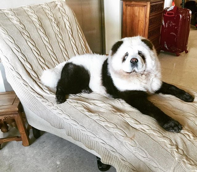 Queen 👑 #saturdaymood #diva #yumi #queenofmycastle #happyweekend #pandachowchows