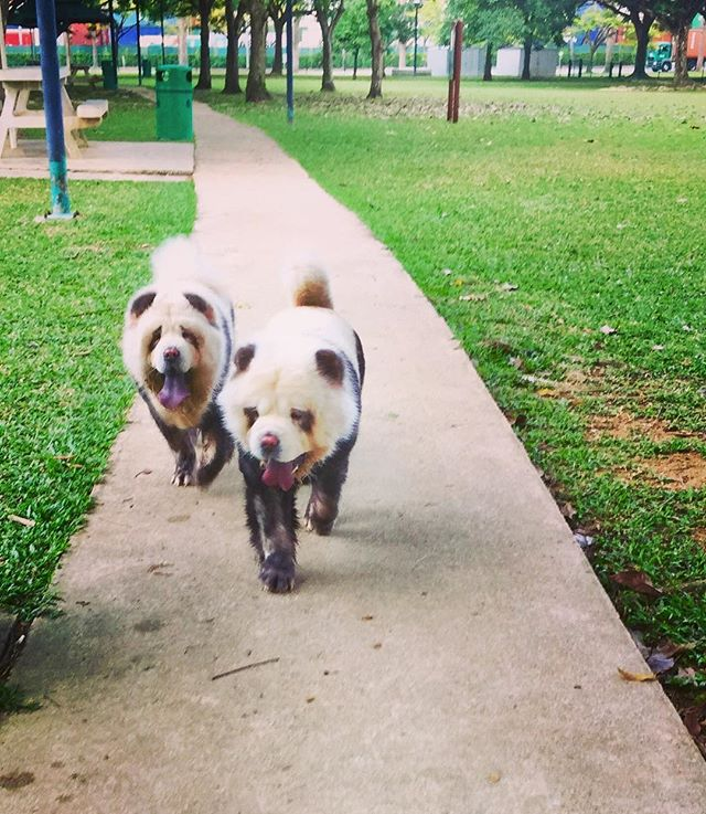 Side by side 🐼🐼 #bestiesforlife #sisterandbrother #siblinglove #yumi #tudou #parktime #familytime #pandachowchows #singapore