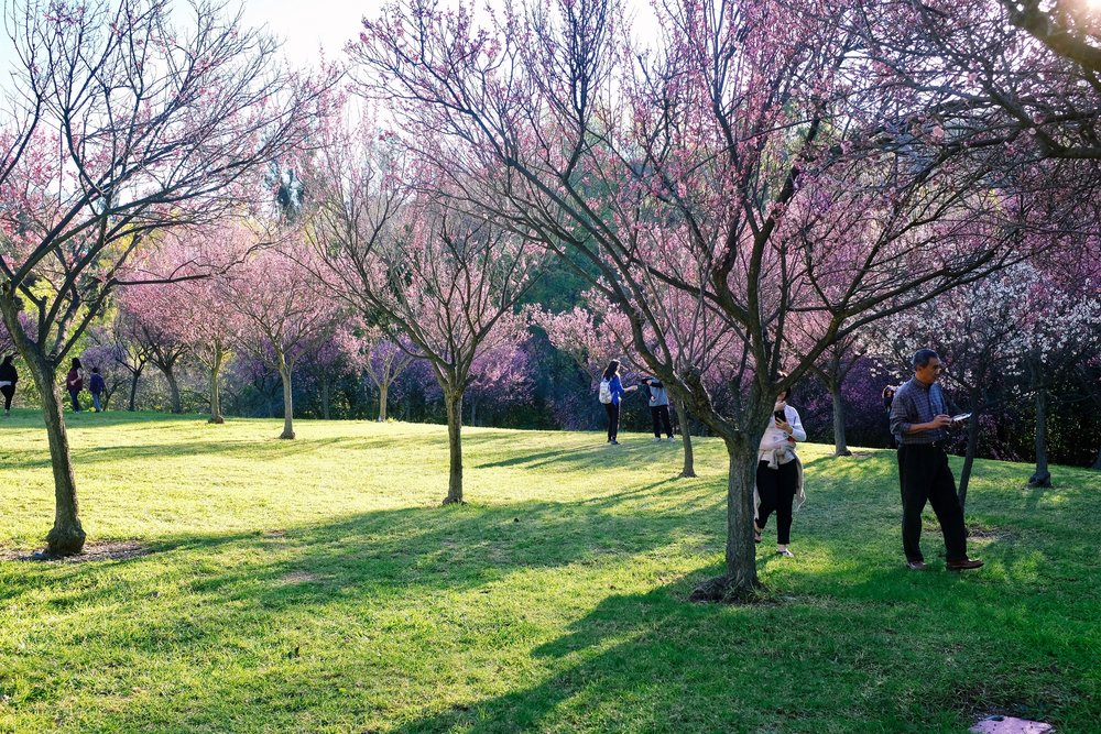 Almost all the visitors had the same idea as me and were taking photos of the beautiful cherry blossoms.