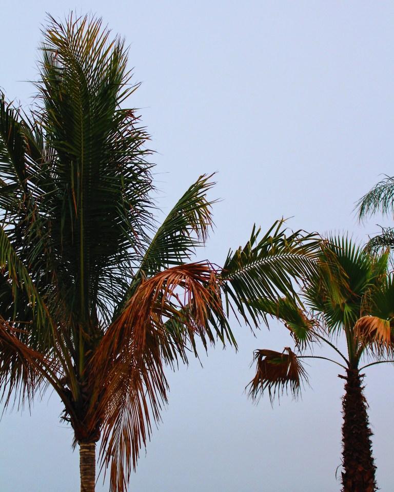 OCMD-Palm-Trees.jpg