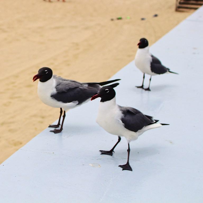 ocmd-seagulls.jpg