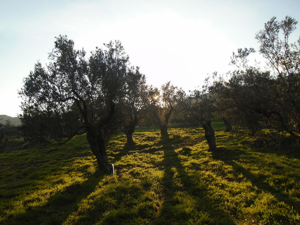 Adramytianí olive trees in the Grosomanídis grove