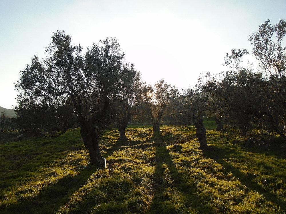 Adramytianí olive trees in Giánnis Grosomanídis' grove