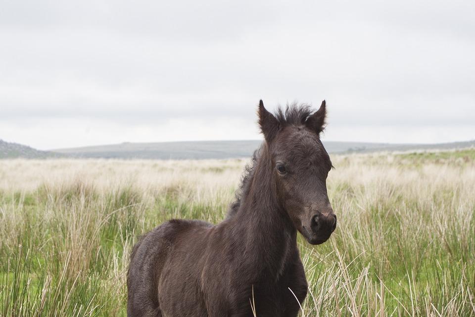 Wild pony (...the Beast of Dartmoor?)