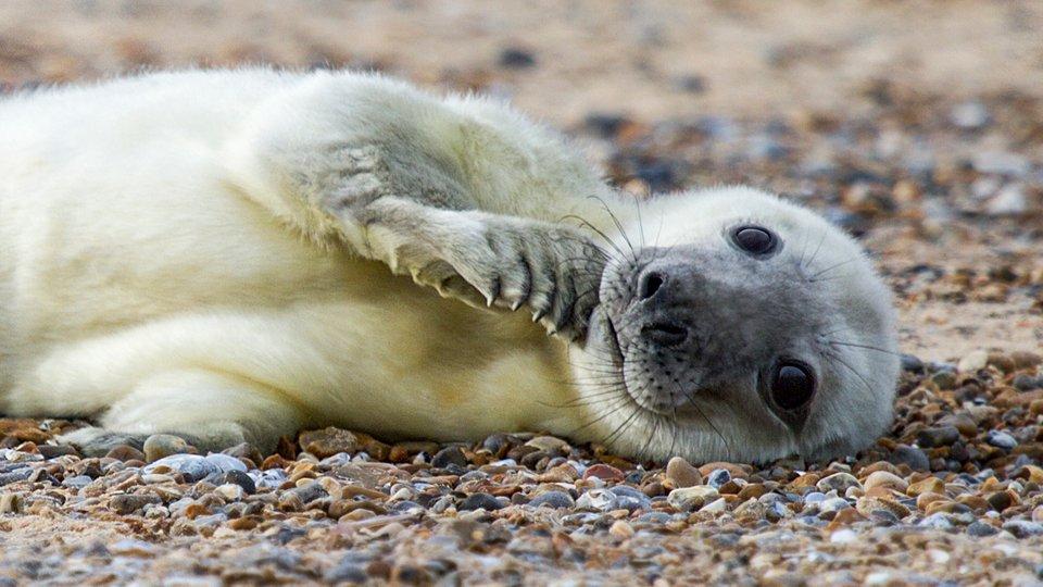 blakeney seal pup CR National Trust.jpg