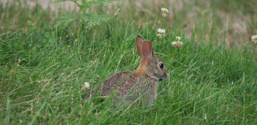 cottontail-rabbit-in-clover-1020x500.jpg