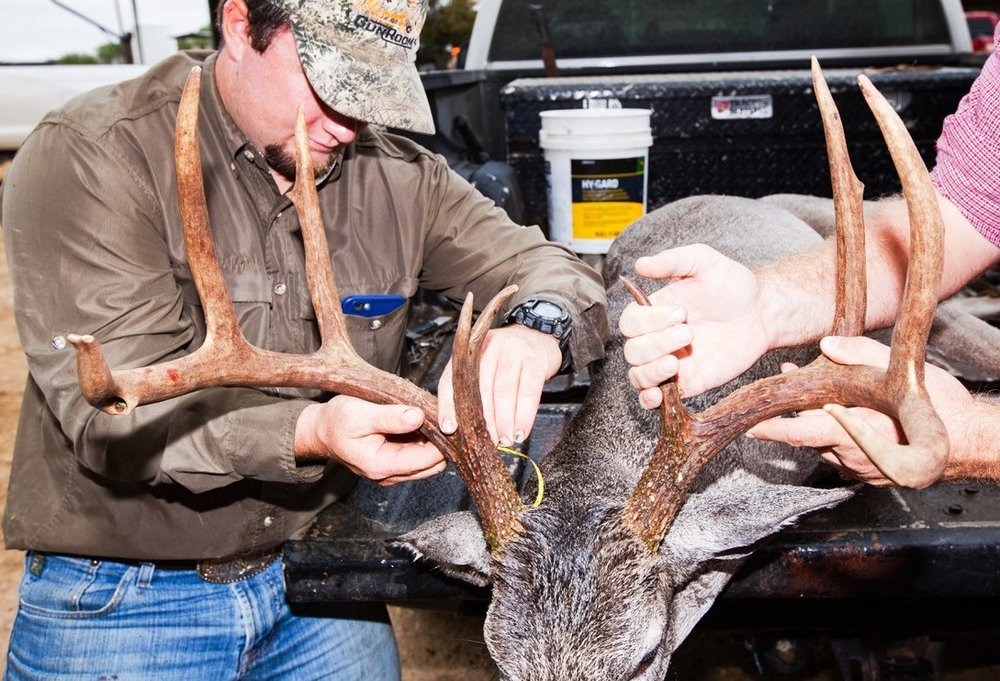 - Guide Landon Gulick, Bigfoot, TX, measures the antlers on Michael McDonald's nice buck. Gulick took score, weight, and age data as part of the Hixon Ranch Wildlife Management Plan—to improve the health and quality of habitat and wildlife on the ranch, including trophy whitetails.