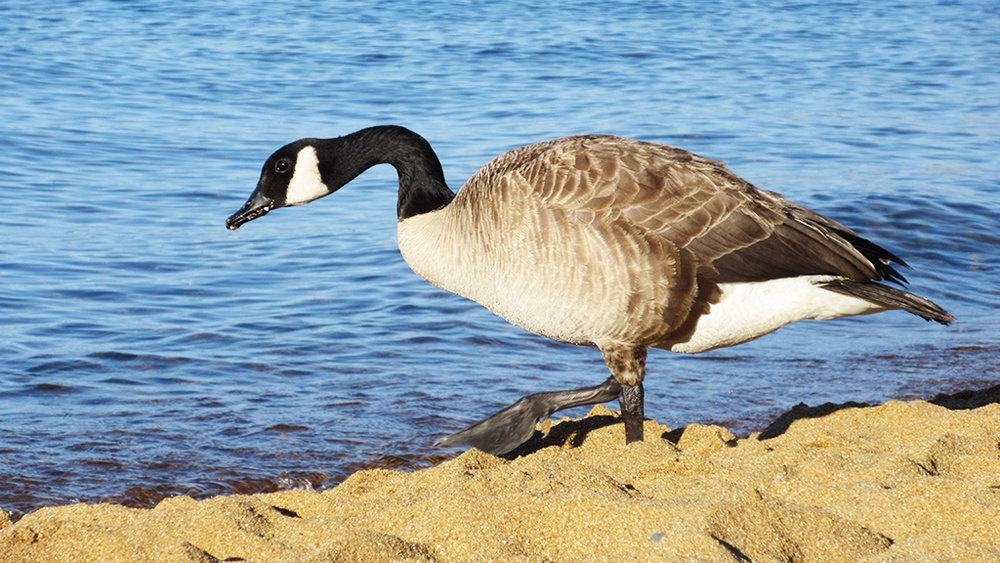 baldwin beach goose.jpg