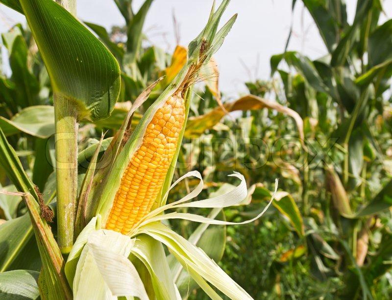 4910561-corn-on-the-stalk.jpg