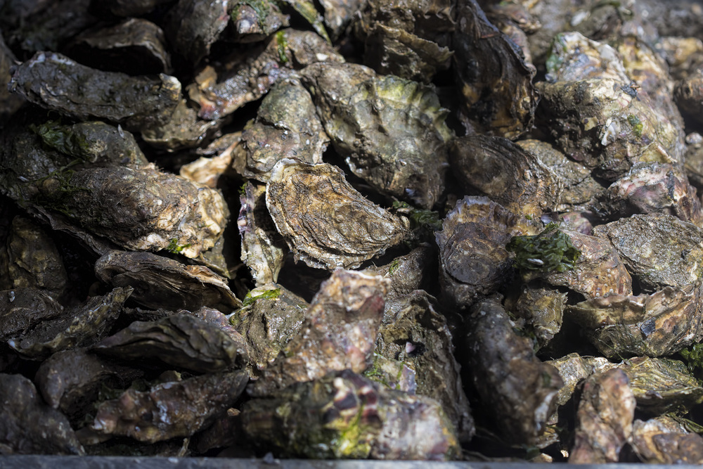 These oysters were on production line. One of the workers was a bit angry cause machine broke down and the only service available for sorting oysters is in France and the guy comes to Ireland once a year in August lol!