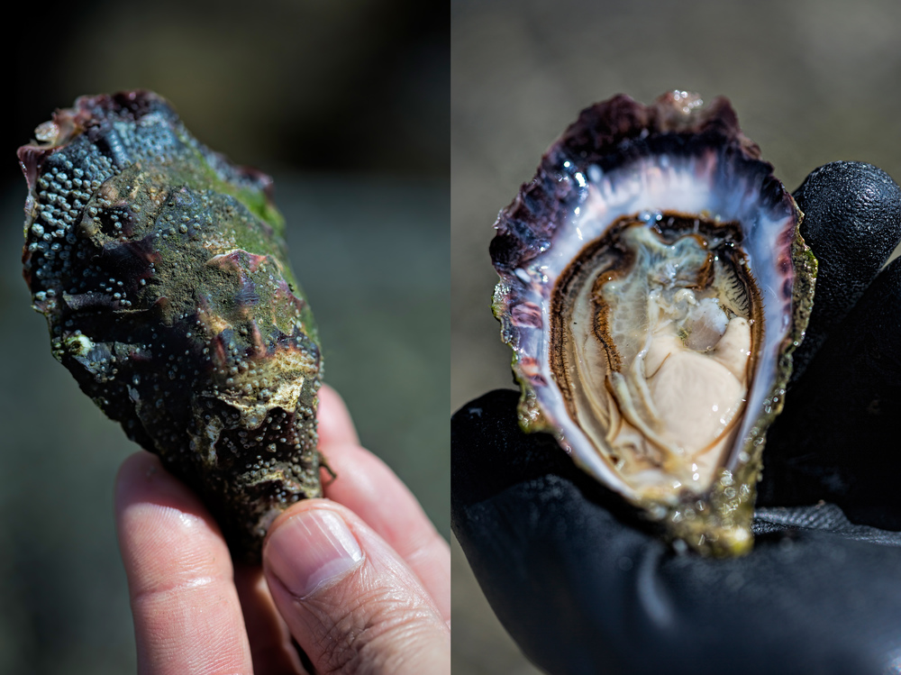 This is how beautiful farm oysters looked like...