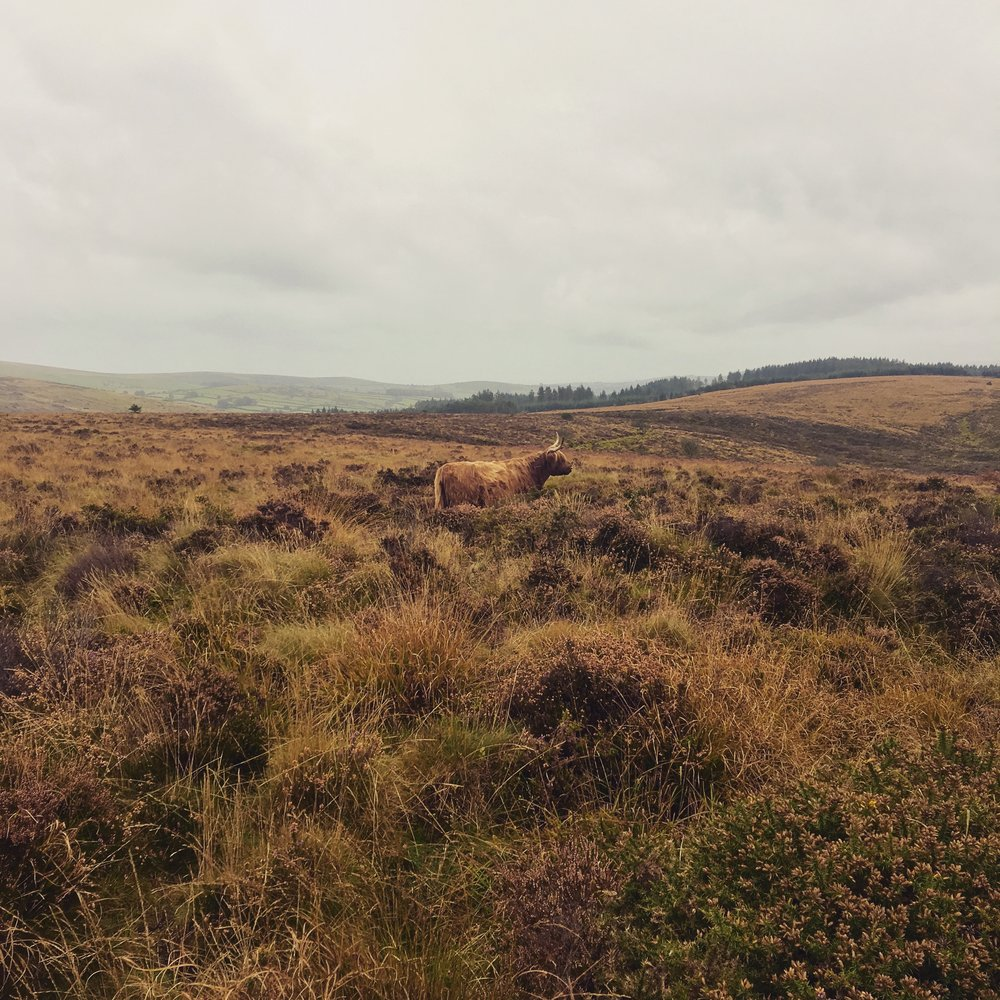 Spot the camouflaged cow....