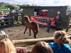 Dartmoor Pony auction....