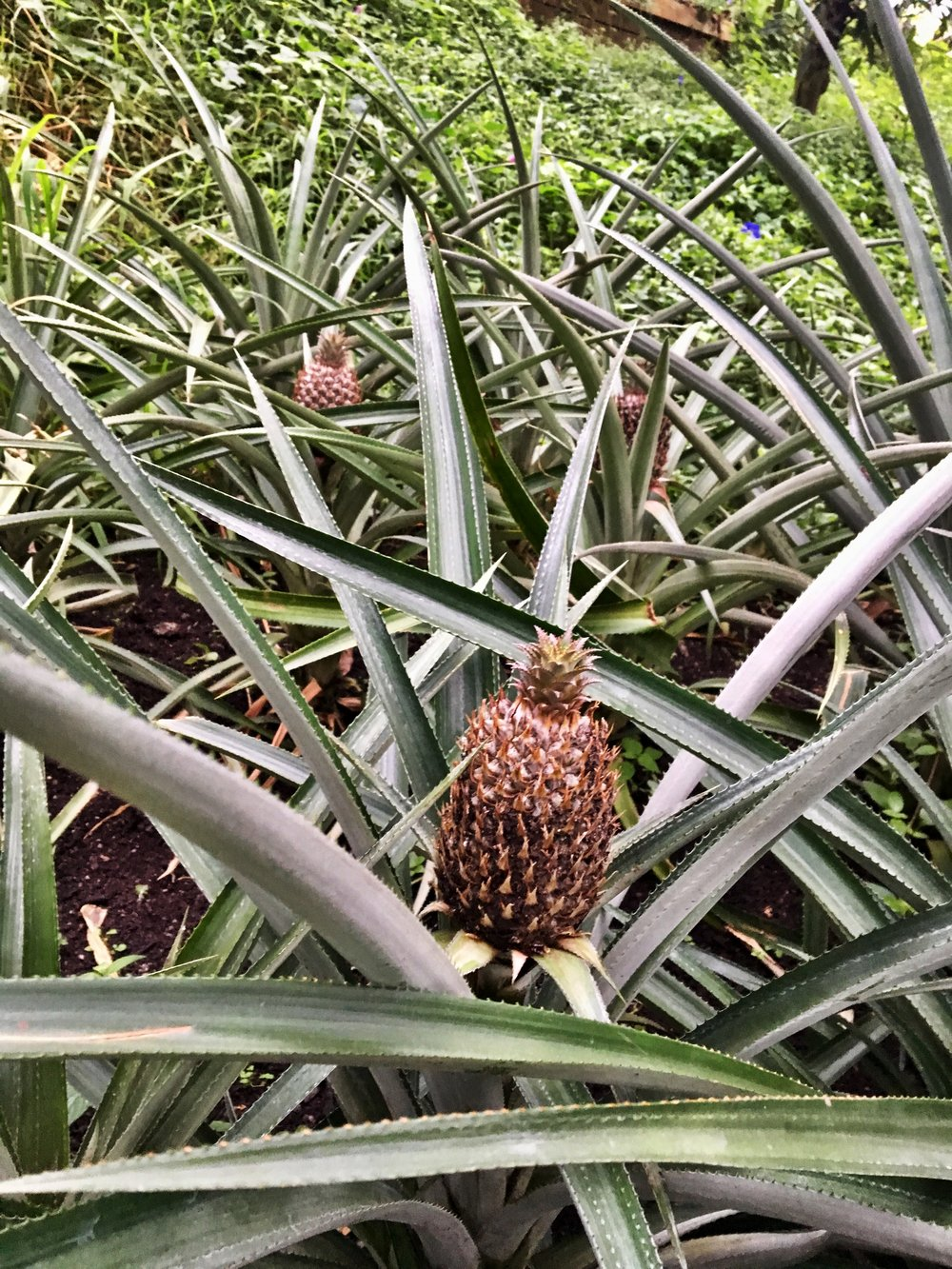 Pineapple plant, Eden Project (November 2016)