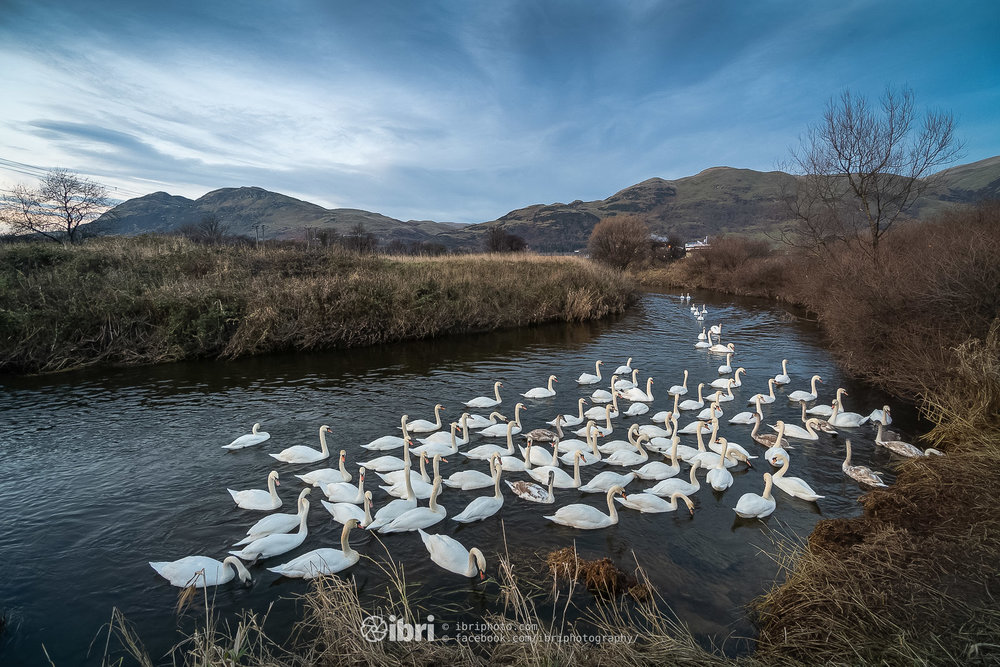 Spotted this feathery gang of swans as I've been driving past this spot - managed to get down before dark and say hello to them. — River Devon at Menstrie.
