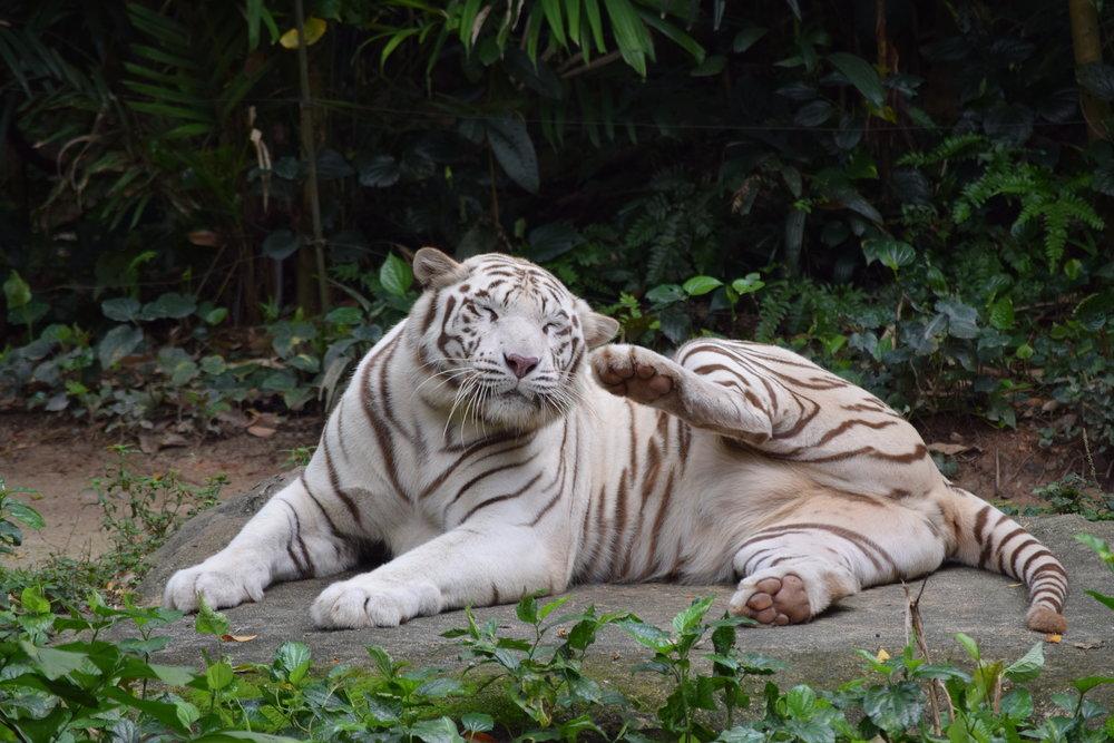 Una tigre sonnacchiosa allo zoo di Singapore.