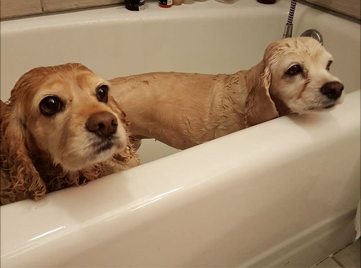 Bath time with Tater Tot her Foster Sister (and Camp Cocker Alumni!)