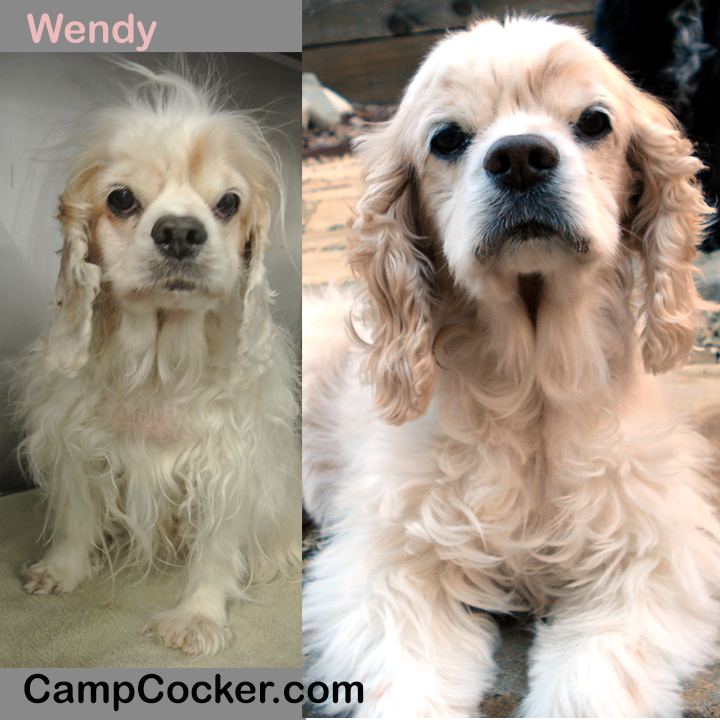 Cocker Spaniel Rescue - Before & After - #transformationtuesday