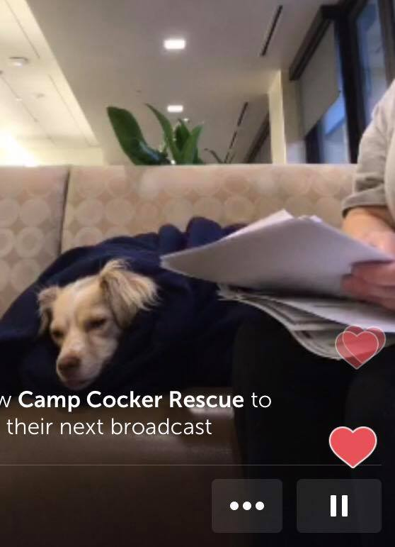 Animal Hospital waiting room. : Pixie is wrapped in a blanket (Still from Periscope)