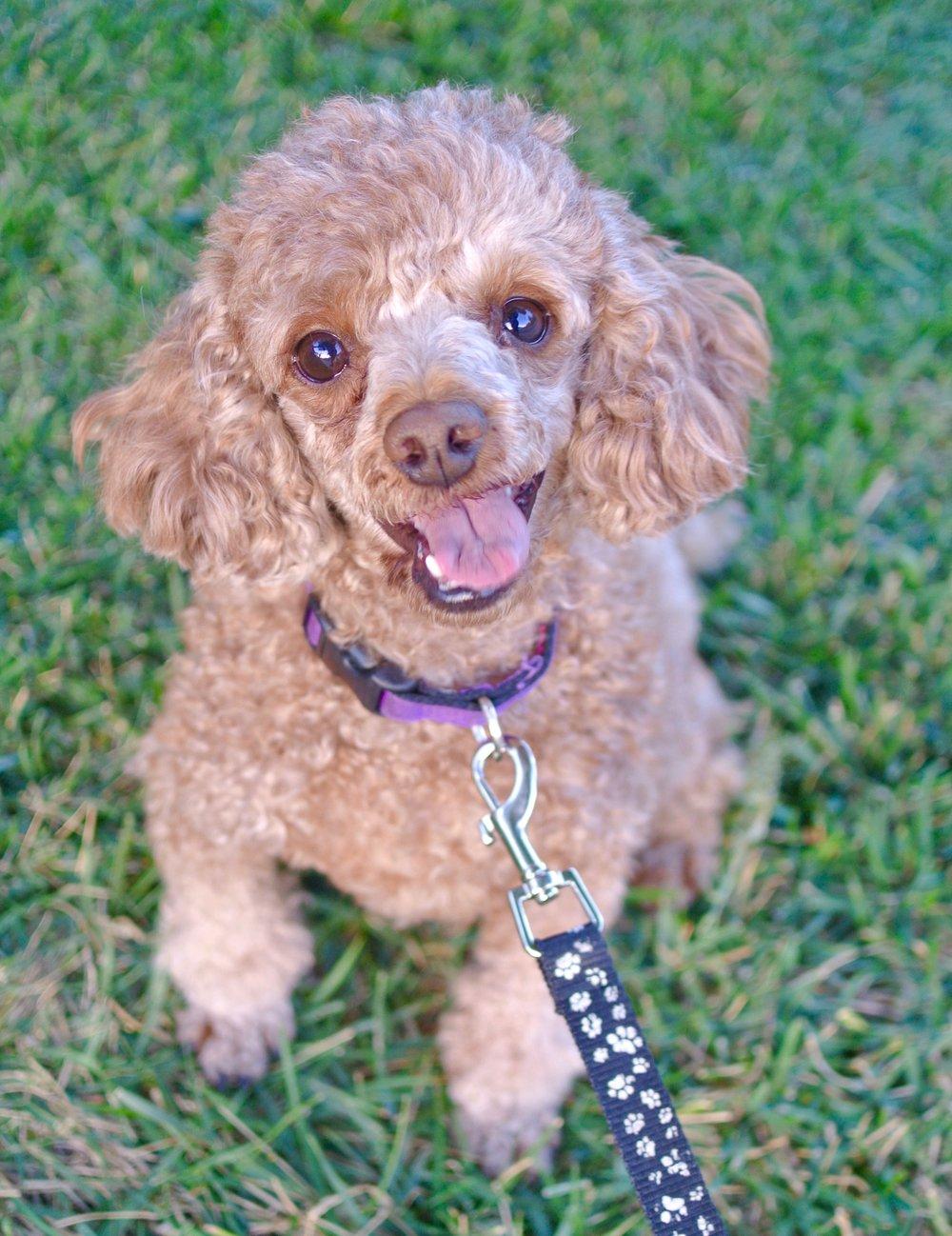 Minnie the poodle so cute 11:12:17.jpg