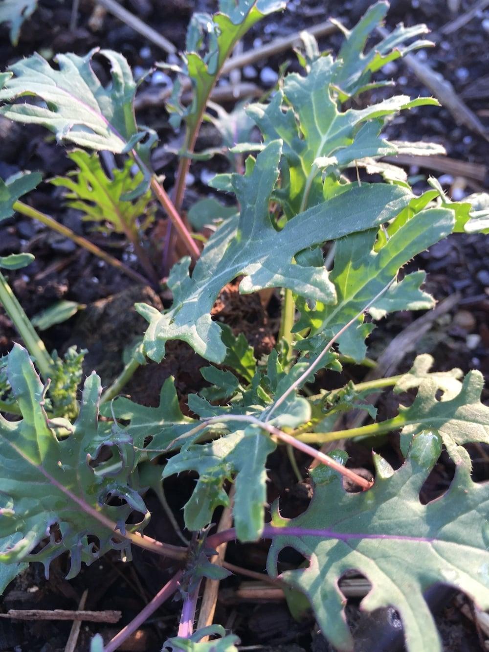 Kale, wild garden frills
