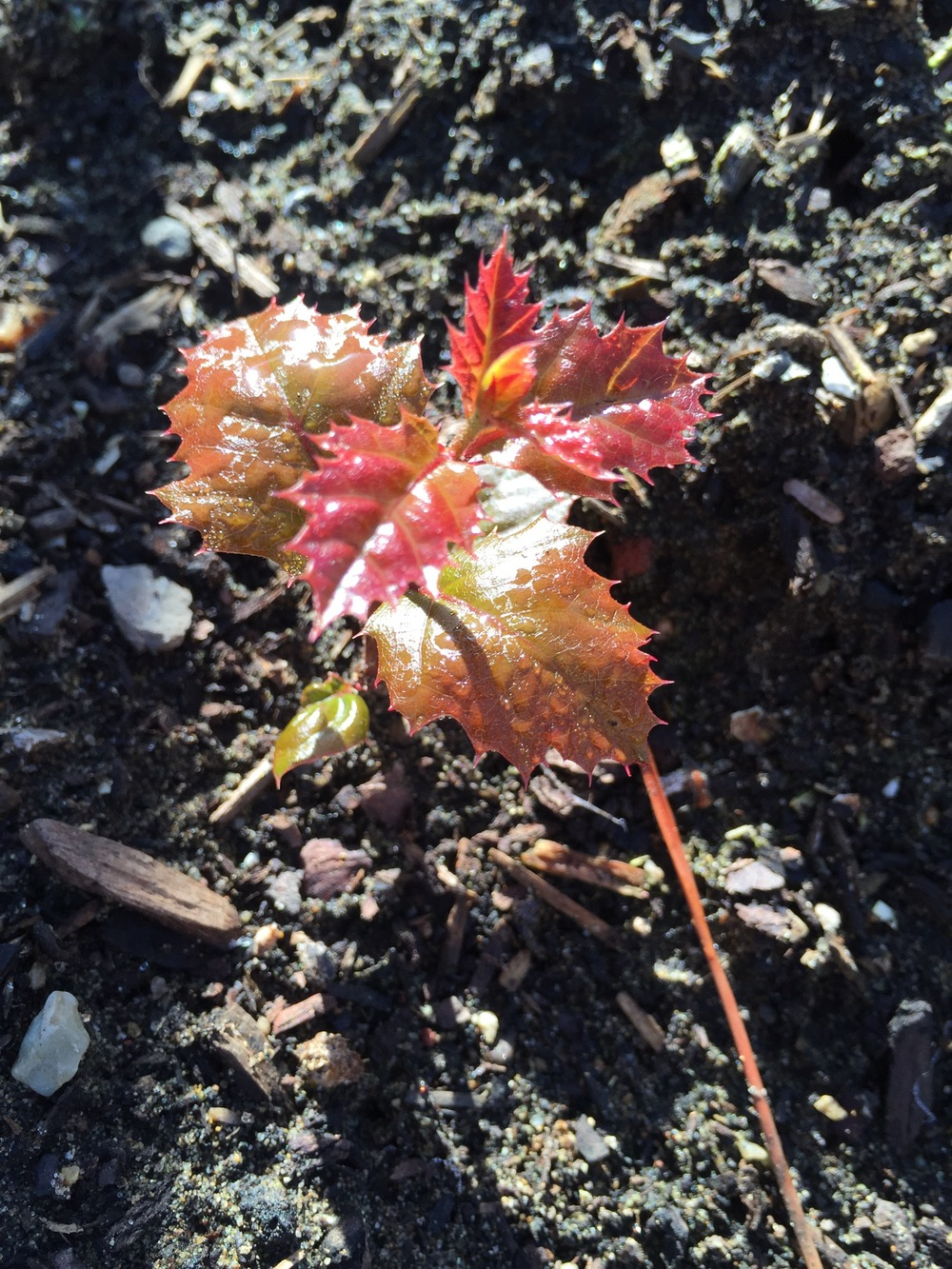 A squirrel strikes again! I pulled out this oak seedling as soon as I took the picture, as it was in my vegetable beds. Pretty, though.