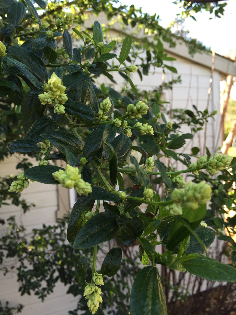 Ceanothus, ready to burst in to bloom.