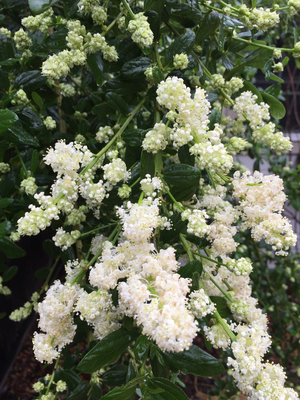 Ceanothus, or California Lilac