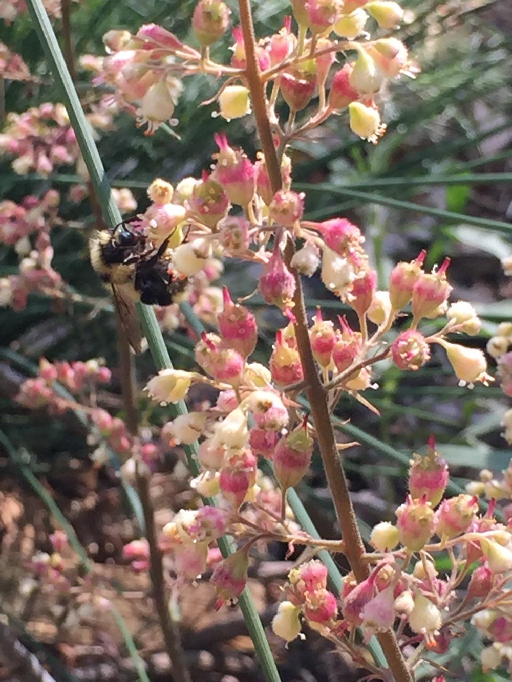 a bumblebee on Coral Bells (Huechera)