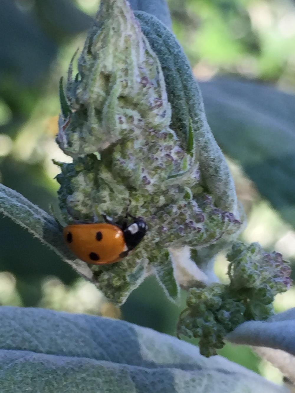 a ladybug on a buddleia bud