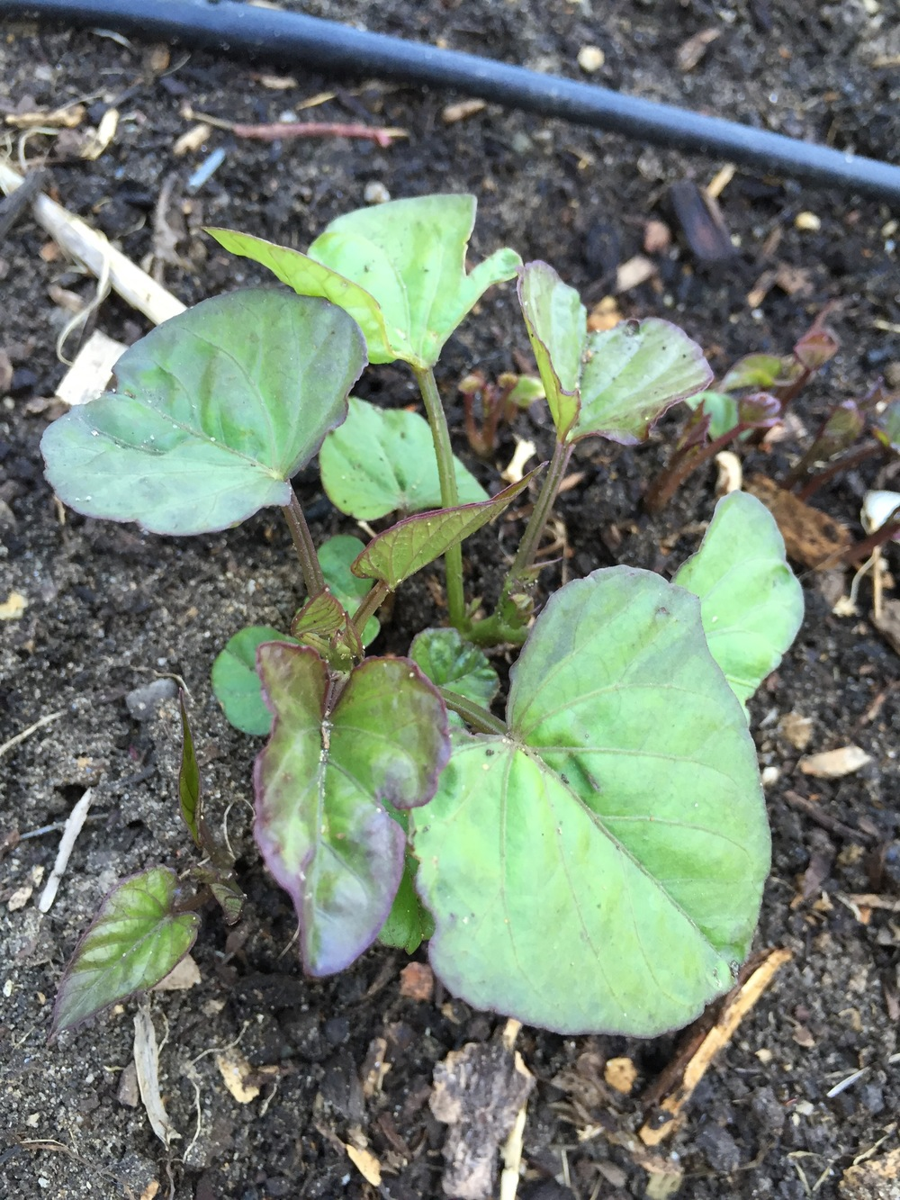 Sweet potato vines coming up in the winter squash bed, where we had planted them last year. Now I don't have to worry about making new slips. I forgot that these can be perennial, if you want them to be (or if you leave a couple of roots in the ground by accident, ahem).