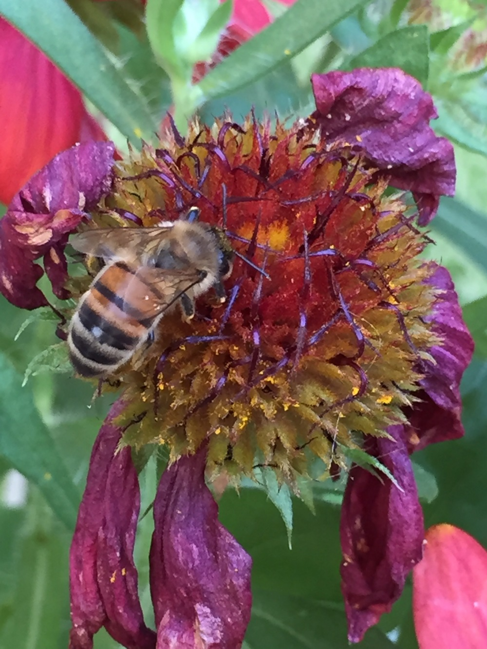One of our honeybees stripping the last drops of nectar from a dying Galliardia.