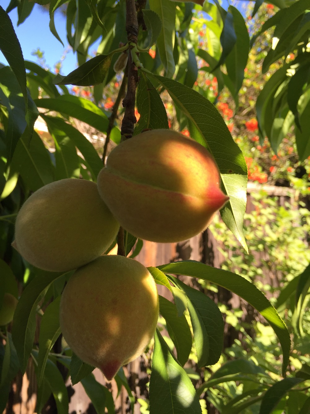 The peaches are starting to look really pretty.