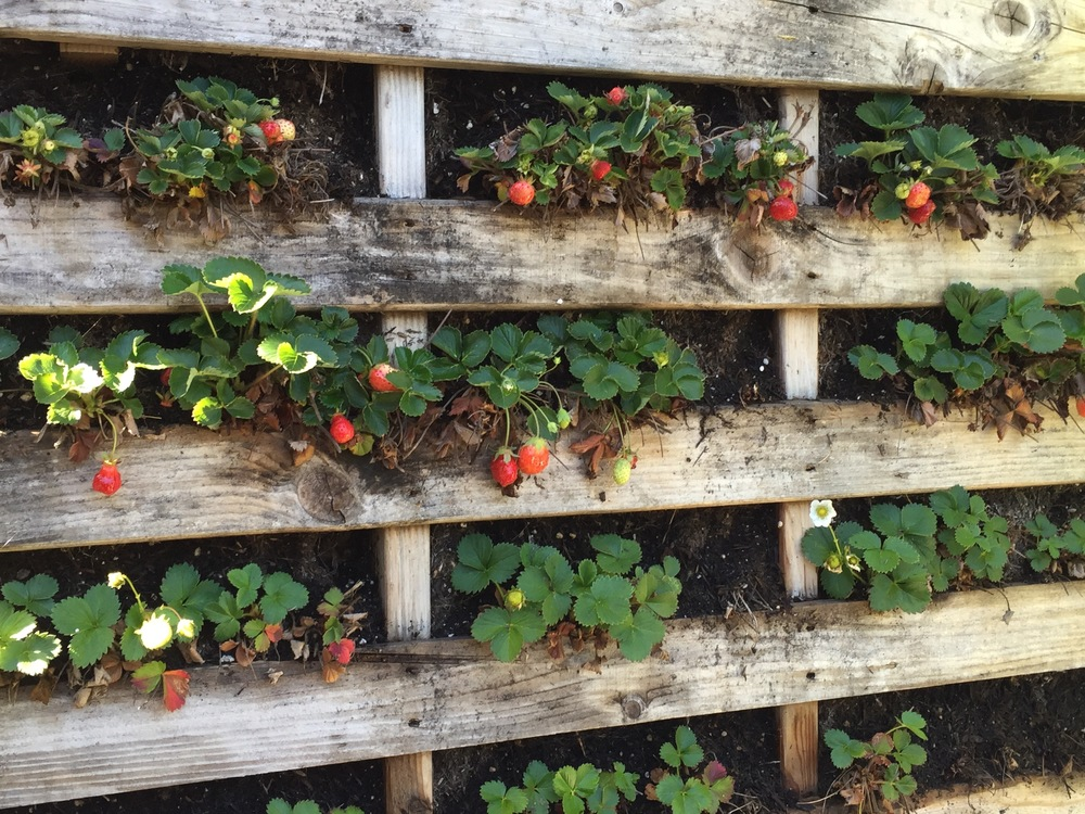 Thought you'd like to see how the strawberry wall looks after its first winter. Each row is a different kind of berry. They tend to ripen at different times. As you can see, I lost a few plants. I will again reiterate that these pallet planters dry out very, very quickly. If you don't stay on top of water, you'll lose plants. (Like me.)