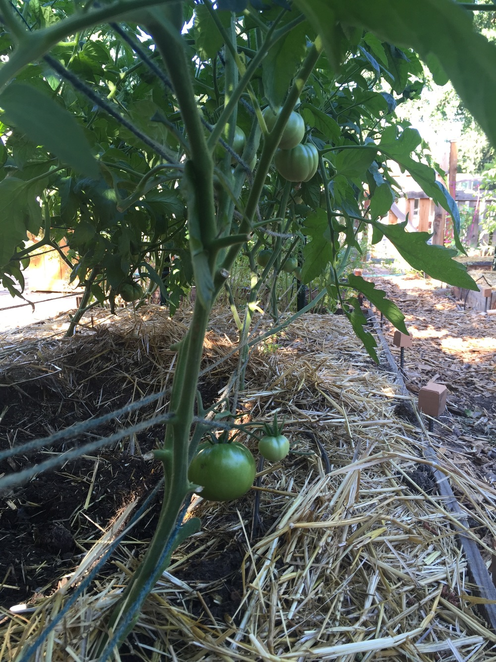 Here, you can see the lines of Florida Weave in and around the plants (this tomato in front is Cherokee Purple. You can also see where Joe the dog has been digging between the rows, damn him.