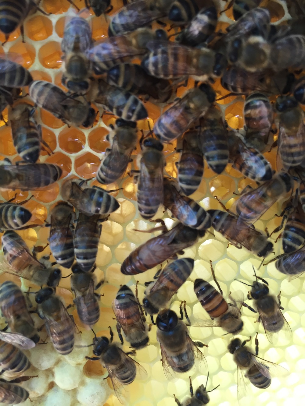 Queen in the middle, laying drone eggs