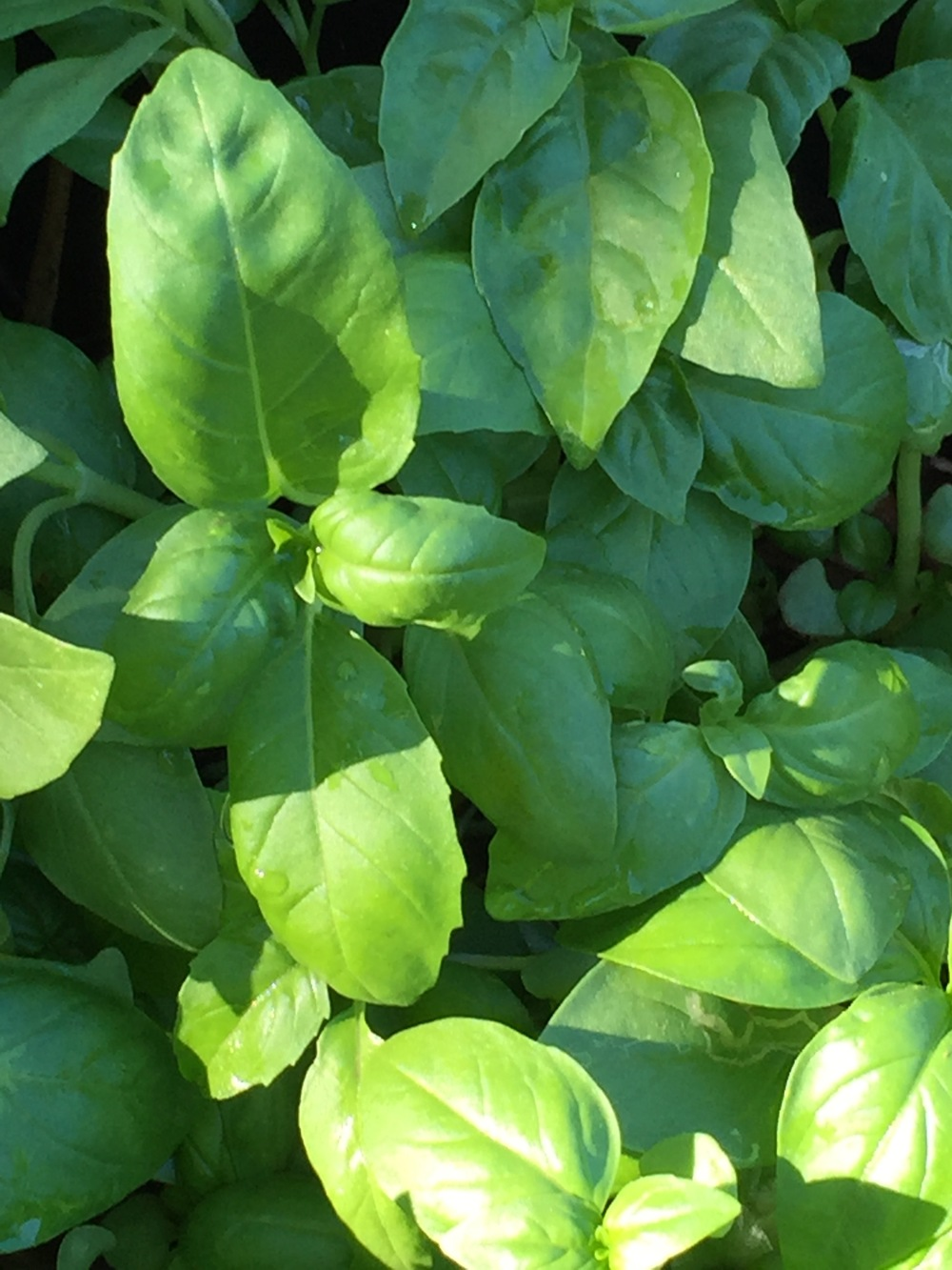 salad-leaf basil